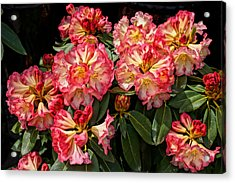 Exploding Rhodies Acrylic Print by Ronda Broatch