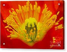 Explosion Of Colour Acrylic Print by Carole Lloyd