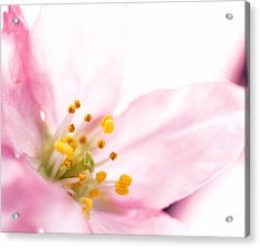 Extreme Close Up Of Cherry Blossom Acrylic Print by Panoramic Images