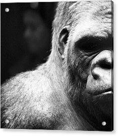 Extreme Close-up Of Gorilla Acrylic Print by Ali Roshanzamir / Eyeem