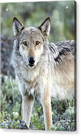 Eye Contact With A Gray Wolf Acrylic Print