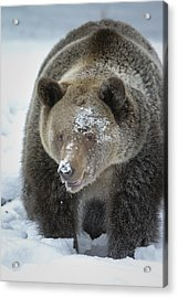 Eye Of Grizzly Acrylic Print