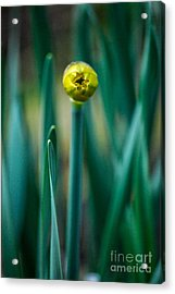 Eye Of The Daffodil Acrylic Print by Cynthia Lagoudakis