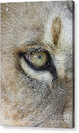 Acrylic Print featuring the photograph Eye Of The Lion by Judy Whitton