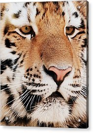 Eye Of The Tiger Acrylic Print by Ramona Johnston