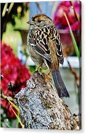 Eyeing The Sparrow Acrylic Print