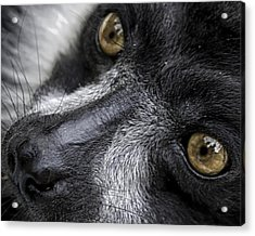 Acrylic Print featuring the photograph Eyes Of The Lemur by Chris Boulton