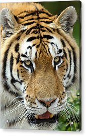 Acrylic Print featuring the photograph Eyes Of The Tiger by John Haldane