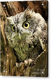 Eyes Of Wisdom Eastern Screech Owl In Hollow Tree Acrylic Print by Inspired Nature Photography Fine Art Photography