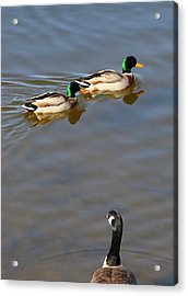 Eyes On The Green Acrylic Print