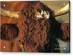 Face Of A Cow Salers. Auvergne . France Acrylic Print by Bernard Jaubert