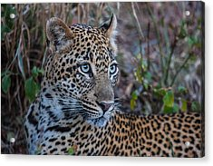 Face Of A Leapord Acrylic Print by Craig Brown