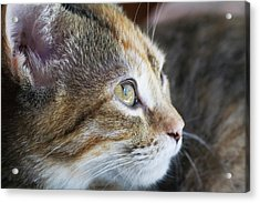 Face Of Domestic Shorthaired Acrylic Print by Piperanne Worcester