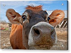 Face Of Young Jersey Cow Heifer Acrylic Print