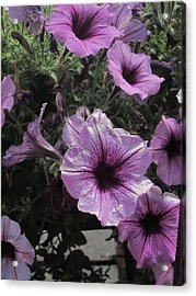 Faces Of Petunias Acrylic Print by Guy Ricketts