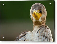 Facing The Great Cormorant Acrylic Print