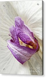 Faded Beauty Acrylic Print by Anne Gilbert