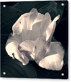 Faded Beauty Acrylic Print by Photographic Arts And Design Studio