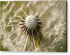 Dandelion Abstract Acrylic Print