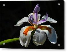Fairy Iris Acrylic Print