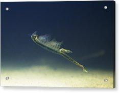 Fairy Shrimp Female Acrylic Print