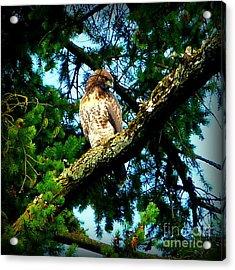 Falcon High Acrylic Print by Susan Garren