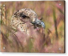 Falkland Or Brown Skua Or Subantarctic Acrylic Print by Martin Zwick