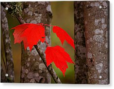 Fall Aflame Acrylic Print by Ronda Broatch