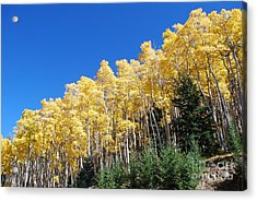 Fall Aspens Of New Mexico Acrylic Print