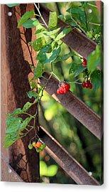 fall berries #6 Nightshade Acrylic Print by Gina Gahagan