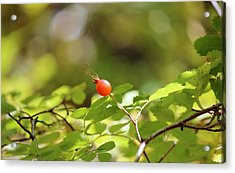 Fall Berries #7 Rose Hip Acrylic Print by Gina Gahagan