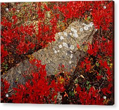 Fall Blueberries And Moss-h Acrylic Print