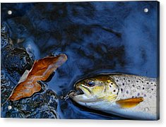 Fall Brown Trout Acrylic Print by Thomas Young