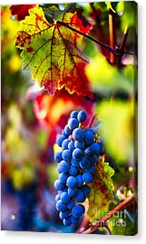 Fall Colors Of Napa Valley Acrylic Print by George Oze