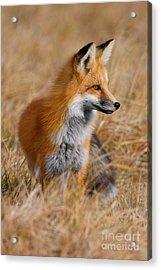 Fall Fox Acrylic Print