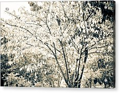 Fall In Black And White Acrylic Print by Ronda Broatch