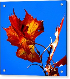 Fall Leave Acrylic Print by David  Norman