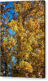 Fall Leaves Acrylic Print by Mike Lee