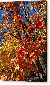 Fall Maple Forest Acrylic Print