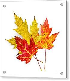 Fall Maple Leaves On White Acrylic Print by Elena Elisseeva