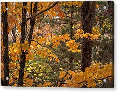 Acrylic Print featuring the photograph Fall Maples - 01 by Wayne Meyer
