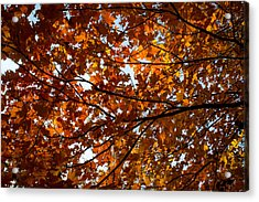 Acrylic Print featuring the photograph Fall Maples - 02 by Wayne Meyer
