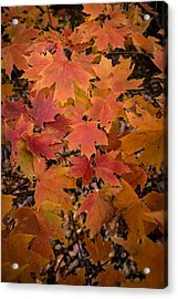 Acrylic Print featuring the photograph Fall Maples - 03 by Wayne Meyer