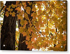 Acrylic Print featuring the photograph Fall Maples - 06 by Wayne Meyer