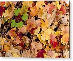 Fall Maples Acrylic Print by Steven Ralser