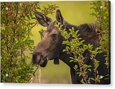 Fall Moose Acrylic Print