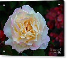 Fall Rose Bloom Acrylic Print