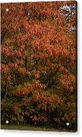 Acrylic Print featuring the photograph Fall Sassafras Trees by Wayne Meyer