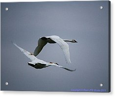 Acrylic Print featuring the photograph Fall Swans by Al Fritz