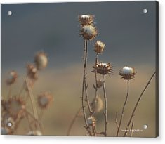 Acrylic Print featuring the photograph Fall Thistles At Dusk by Debby Pueschel